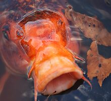 Japanese Koi by ssphotographics