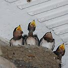 hungry swallows -  1 of 2 by ssphotographics