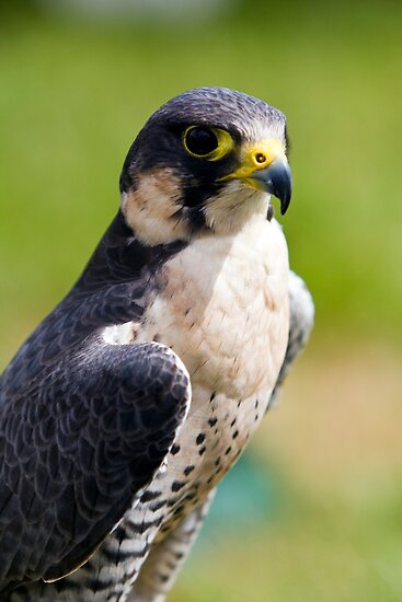 peregrine falcon by Paul Thompson Photography