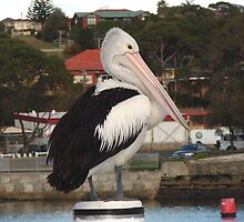 Pelican - Ulladulla Harbour by Sharon Robertson