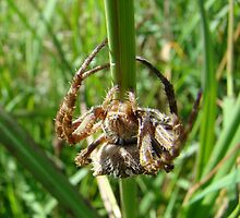 SPIDY by Sharon Robertson