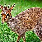 Dik Dik by Scott Ward