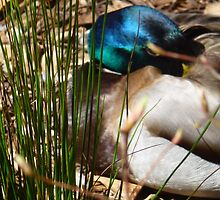 Sleeping Mallard by globallyinspire