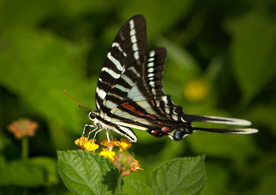 Zebra Swallowtail I by Lisa G. Putman