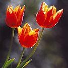 Three Tulips by Bev Pascoe