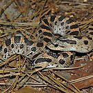 Two Southern Hog-nosed Snakes  by Michael L Dye