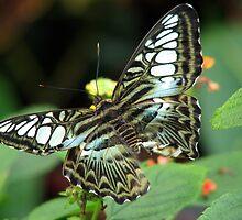 Clipper Butterfly by Stevesphotoz