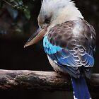 Blue Winged Kookaburra by David  Hall