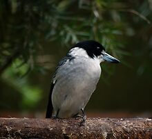 Grey Butcher Bird by David  Hall