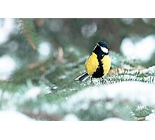 Blue Tit On Spruce Tree Photographic Print