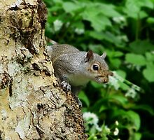 Grey Squirrel II by shane22