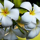Singapore White Frangipani by JulieM