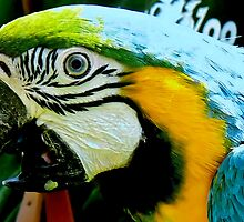 blue and gold macaw by Johan  Nijenhuis