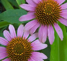 Purple Echinacea by pjwuebker