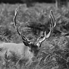 Antlers by Tony Hadfield