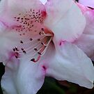 Pink & White by Trevor Kersley