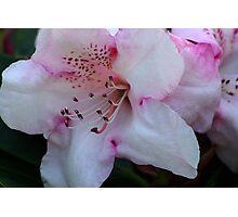 Pink & White Photographic Print