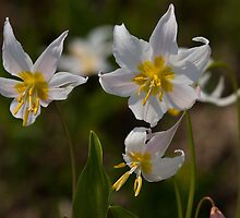 Avalanche Lillies by EvaMcDermott