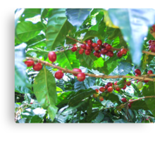 El Salvador #4 - Ripe coffee fruit beans Canvas Print