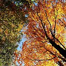 Looking Up - Autumn Leaves by Debbie Oppermann