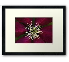 Deep Claret Red Clematis Framed Print