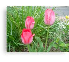 3 pink tulips ~FRANNY'S Garden Canvas Print