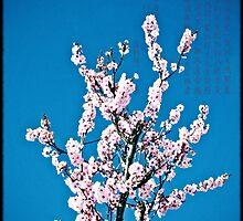 Cherry Blossom Time by Melanie  Dooley