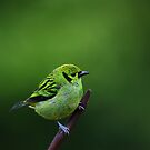 Emerald Tanager by Jim Cumming