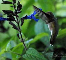 Hummingbird 7 by G. David Chafin