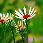 Echinacea by Debbie Oppermann