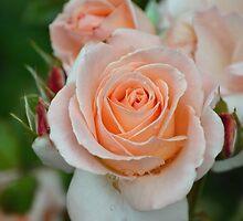 Delicate Rose by gavinimes