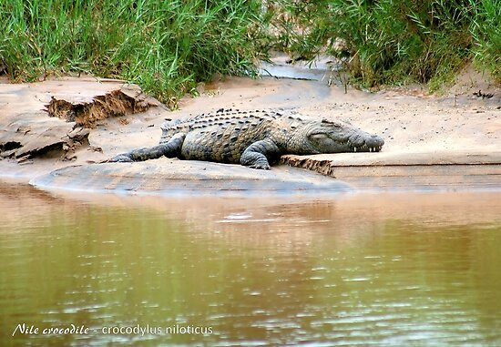 THE NILE CROCODILE - Crocodylus niloticus by Magaret Meintjes
