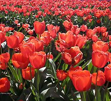 Tulips by Norm  Lewis