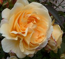 Orange and Peach double Rose. by hilarydougill