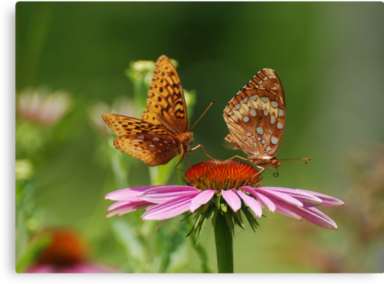 Fritillary Butterfly Duo by Lynda   McDonald