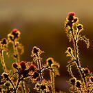 Thistles wide open.. by TonyLegg