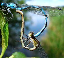 Mating Damselflies by Sharon Perrett