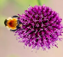 Pollen Collection by captureasecond