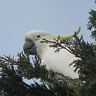 Sulphur Crested Cockatoo by Robert Jenner