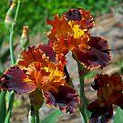 Beautiful Brown Irises by James Brotherton