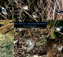 Blue Wrens - Laratinga Wetlands - Mt Barker by LeeoPhotography