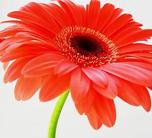 Gerbera  by JuliaWright
