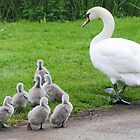 Mute Swan Family 4 by Richard Durrant