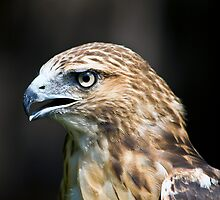 Red Tailed Hawk 2 by LarryGambon