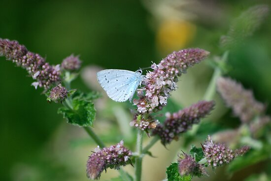 Holly Blue 2 by dougie1