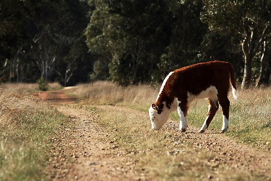 Grazing on the old bush track by Cathy Middleton