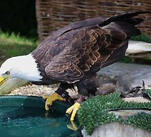 Bald Eagle  (Cooling down) by jdmphotography