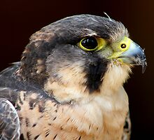 Peregrine x Lanner Falcon by jdmphotography