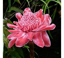 Red Torch Ginger Lily Photographic Print