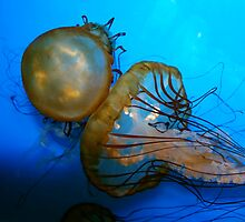 Jelly Fish by daboja
